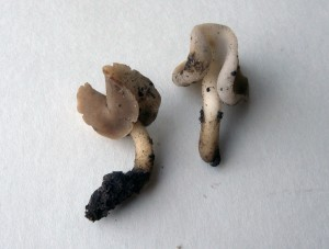 Harmomörsky (Helvella latispora) – uusi laji Suomelle